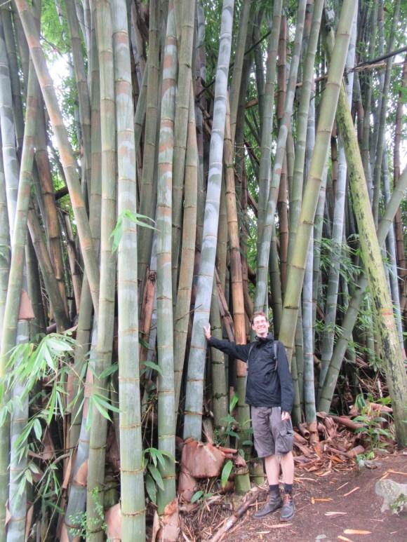 Bambous géants en chemin