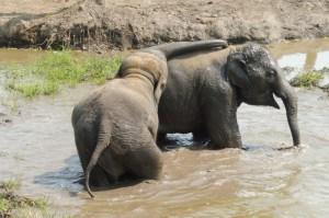 Les deux plus jeunes éléphants, inséparables