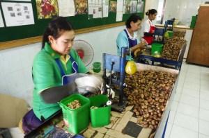 Préparation des noix de cajou