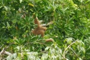 Femelle gibbon (les mâles sont noirs)