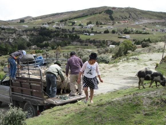 Déchargement des moutons et du cochon