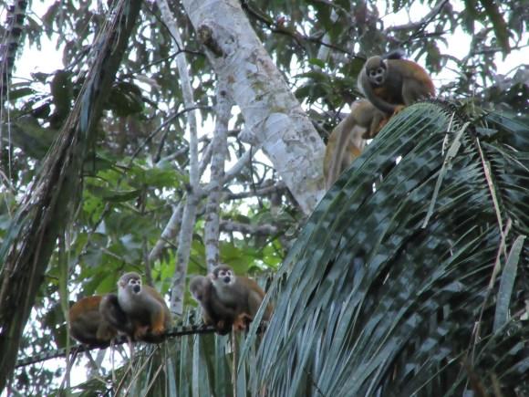 Ces petits singes rentrent dormir dans l'un des palmiers du lodge tous les soirs à 18H tapantes, impressionnant !