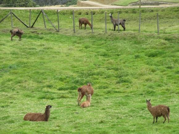 Des lamas nous accueillent