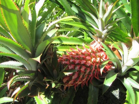 Ananas sauvage