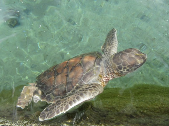 L'un des bébés tortues de Kélonia !