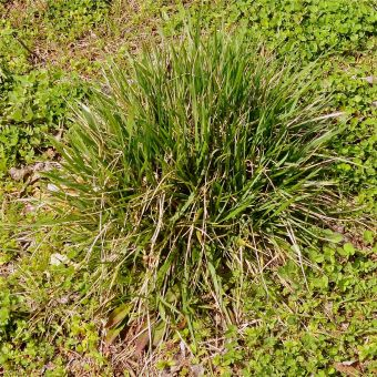 Over eager grass clumps.