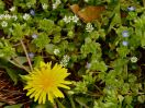 Spring's first dandelion.