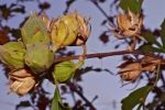 Rose of Sharon seed pods