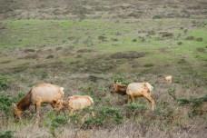 Tule Elk Preserve - Tomales Point | Smiling in Sonoma