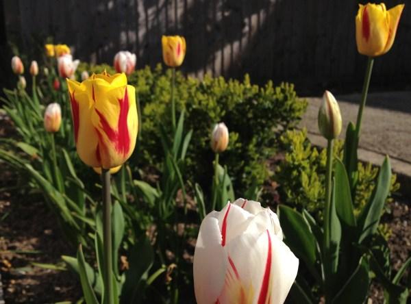 Tulip denouement