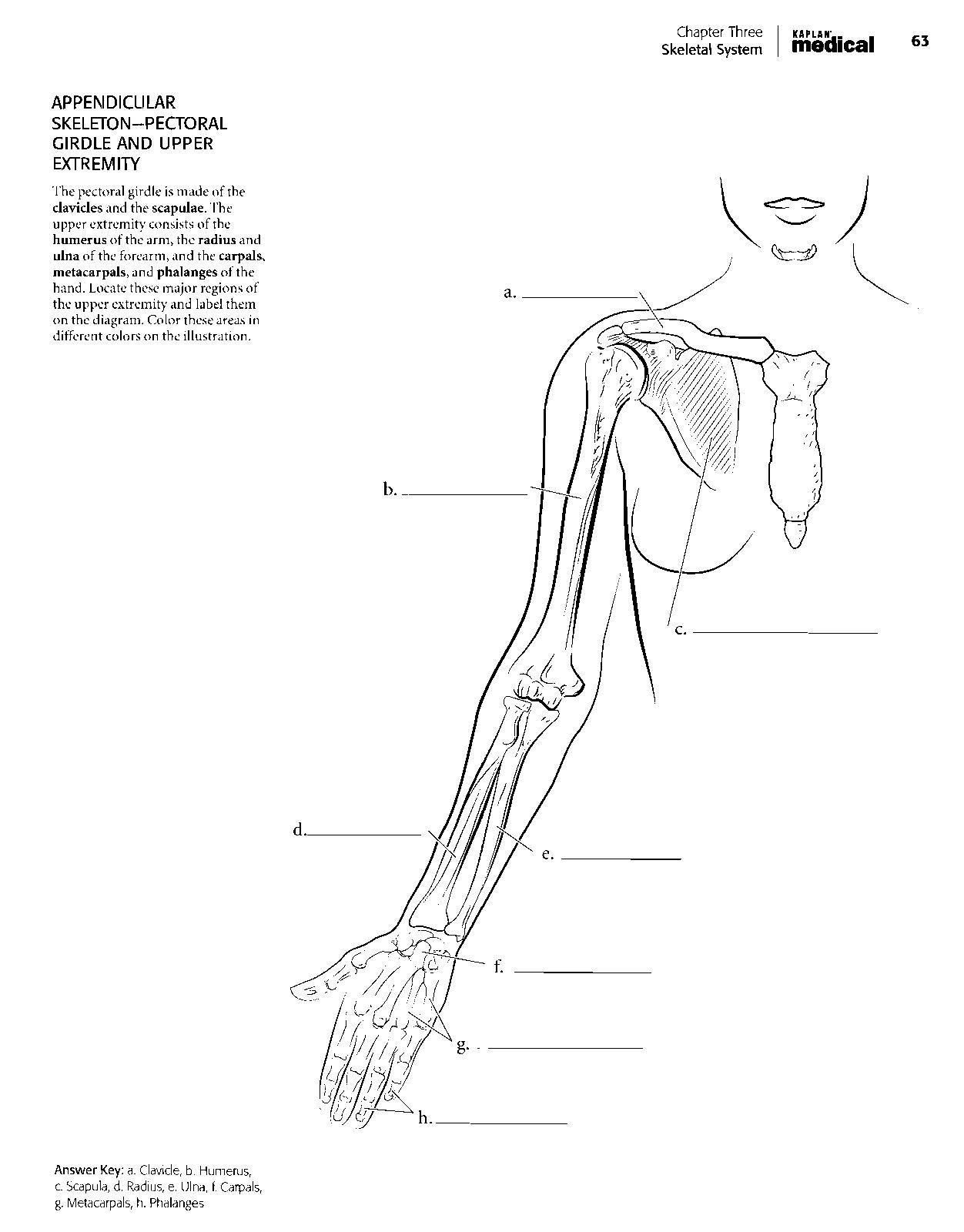 30 Skeletal System Labeling Worksheet