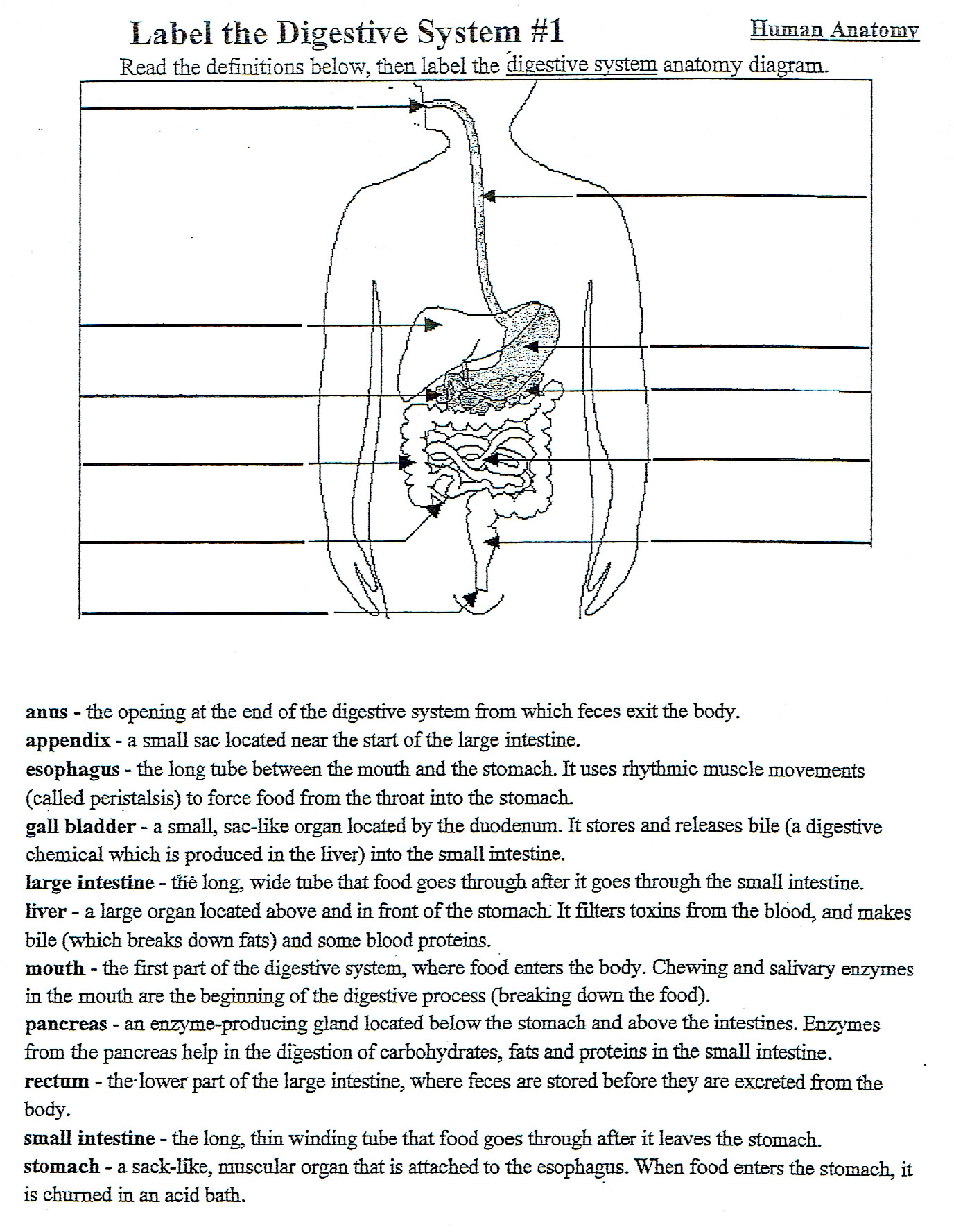 30 Digestive System Worksheet Answers
