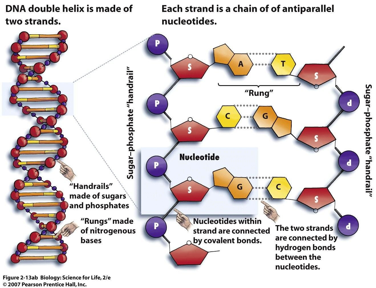 30 Dna The Double Helix Worksheet
