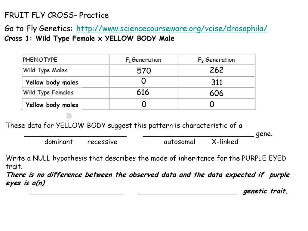 30 Genetics X Linked Genes Worksheet