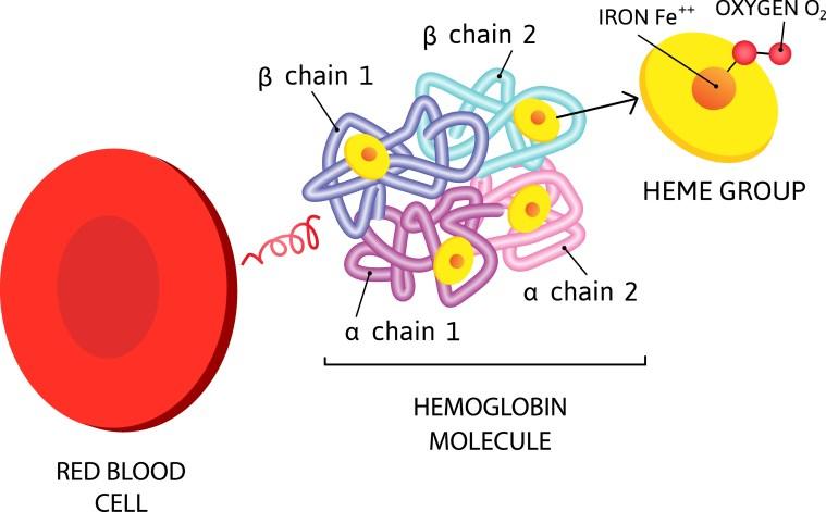 Hemoglobin molecule.
