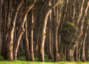 04_eucalyptus_row_SMKanePhoto