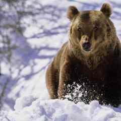 Atentionare pentru amatorii de drumetii! Cateva exemplare de ursi au fost observate in judetul Satu Mare