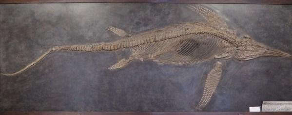 Nach 4 Monaten Arbeit ist die Restaurierung des über 3m langen Fischsauriers Stenopterygius uniter abgeschlossen.