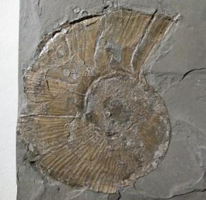 Der Ammonit Lobolytoceras siemensi