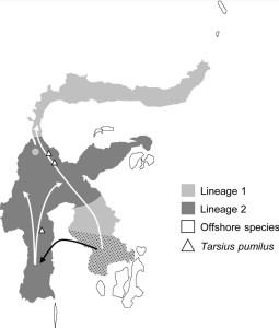 Koboldmakis breiteten sich in mindestens zwei Wellen über Sulawesi aus. Aus Driller et al. (2015).