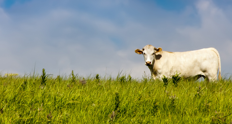 Grass Fed Cow on pasture