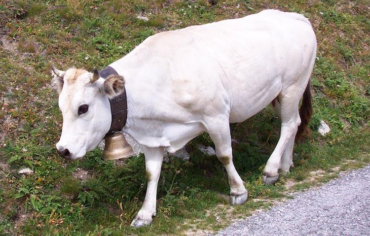 Piedmontese cattle