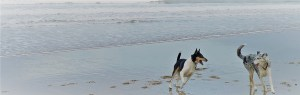 Smooth Collies at the seaside