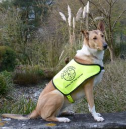 Pets as Therapy Smooth Collie