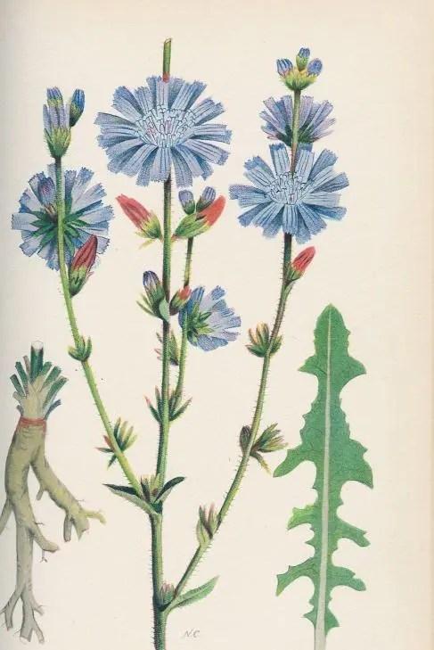 chicory-plant