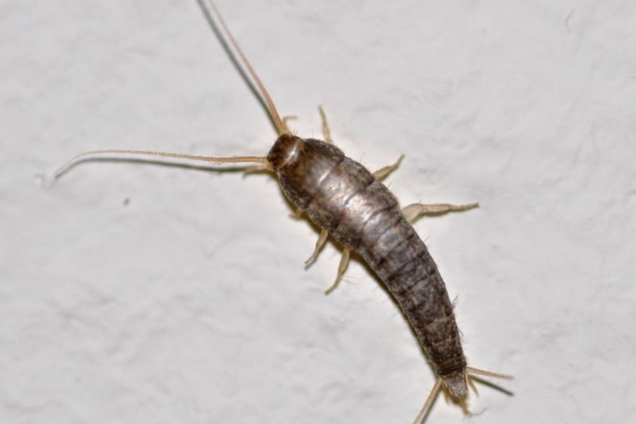 Silverfish What are they