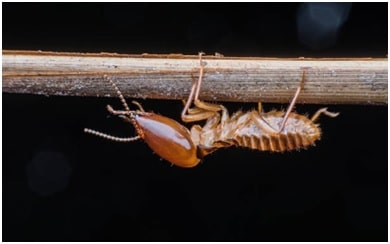 termite inspections featured image