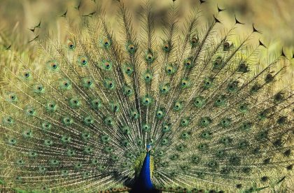 peacock feathers image