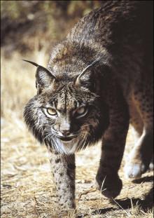 Lynx pardinus-3