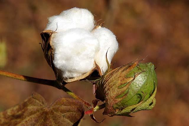 新疆綿(しんきょうめん)