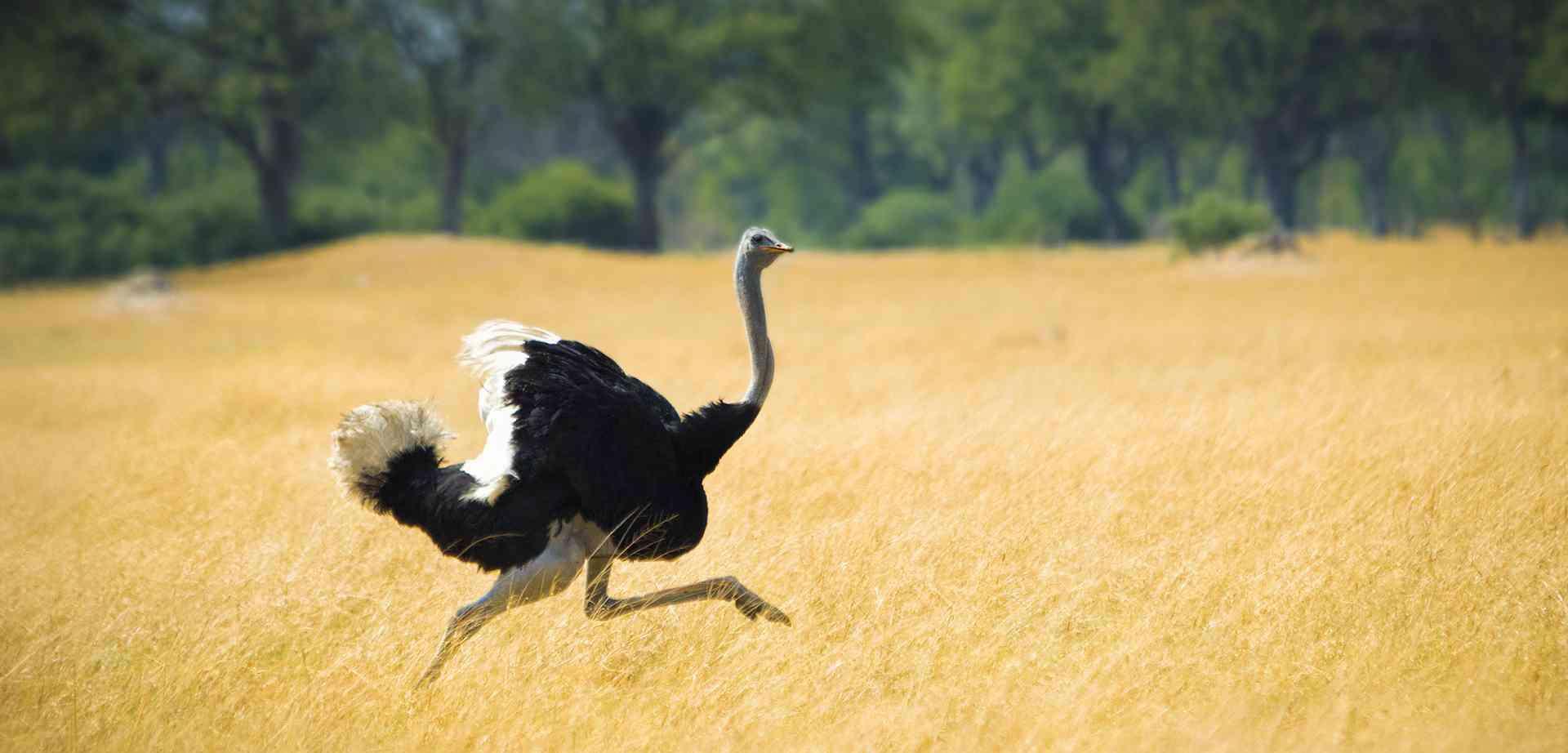 Интересные факты про страусов