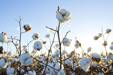 Oferta global limita reações nos preços do algodão