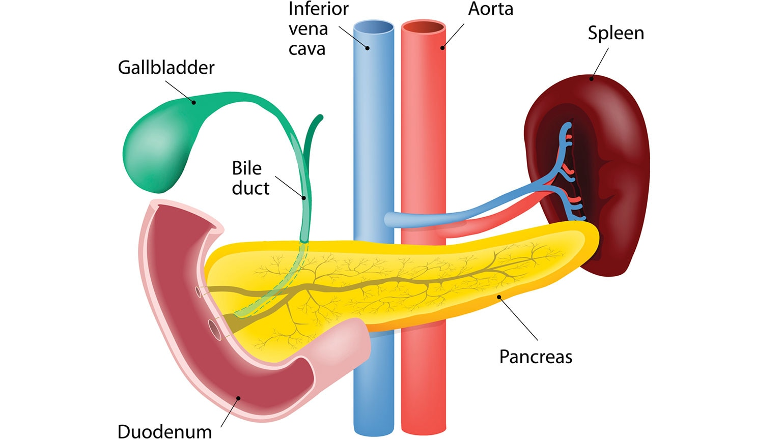 Digestive System Anatomy Of The Pancreas Liver And The