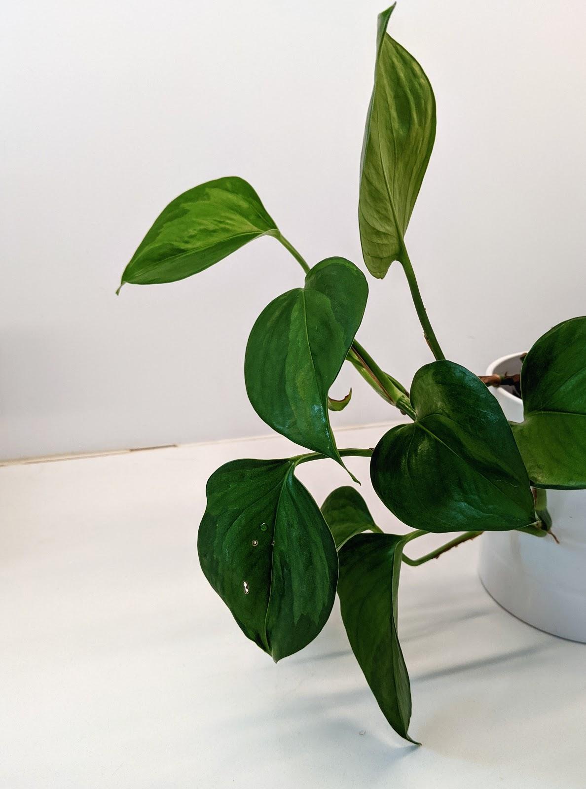 Jade Pothos (Epipremnum aureum)