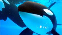 orca 12