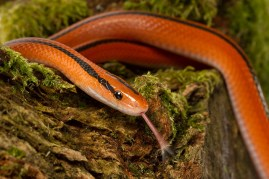 Bamboo Rat Snake by Neptuno Photography