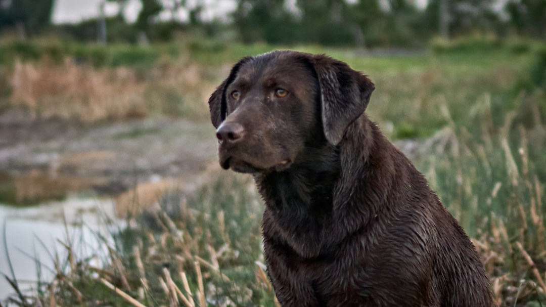 Snake River Retrievers | Home to the best yellow, chocolate, and