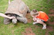 Petting Tortoise