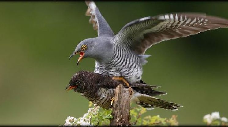1-Cuckoo-attempting-to-mate-with-stuffed-decoy-on-post