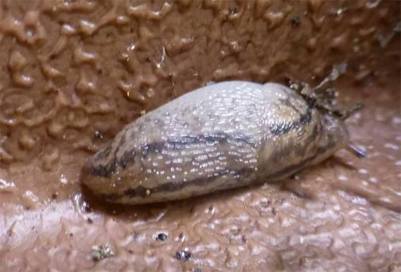 Slug -slimy, rippled texture