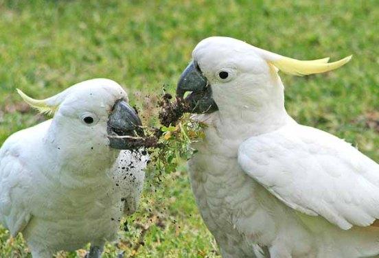 Sulphur Crested Cockatoos