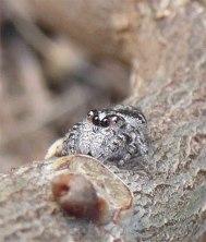 Teeny, tiny Jumping Spider
