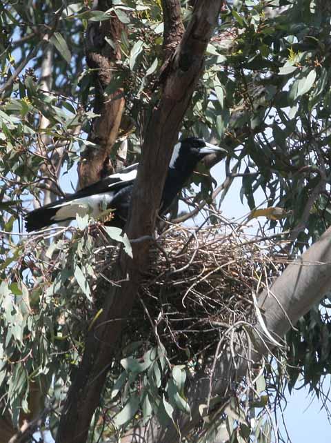 Nesting Magpie