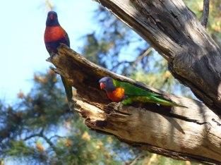 Nesting Rainbow Lorikeets