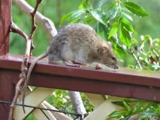 Rat -the reason I'm reluctant to use the bird feeder