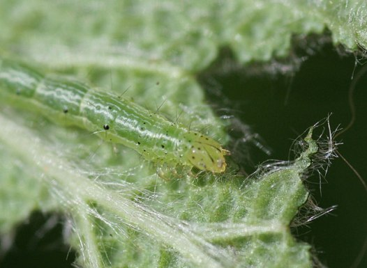 Caterpillar - Cabbage White